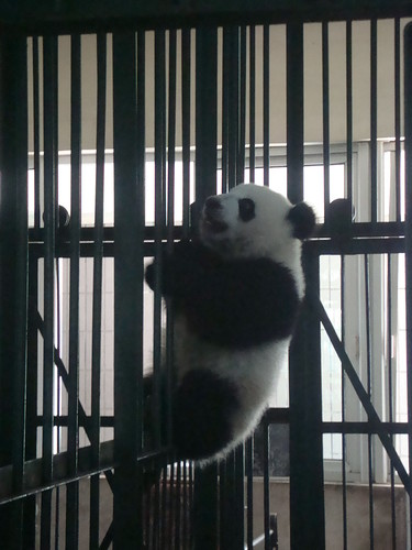 Baby Panda Playing on the Bars