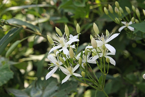 江の島のセンニンソウ(Flower, Enoshima, Kanagawa, Japan)