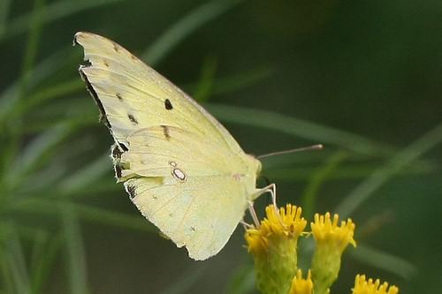 新治市民の森のモンキチョウ(Butterfly, Niiharu Community Woods, Yokohama, Japan)