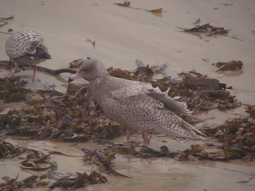 "Glaucous Gull, St Ives 24.01.14 (V.Stratton) • <a style=""font-size:0.8em;"" href=""http://www.flickr.com/photos/30837261@N07/12132598333/"" target=""_blank"">View on Flickr</a>"