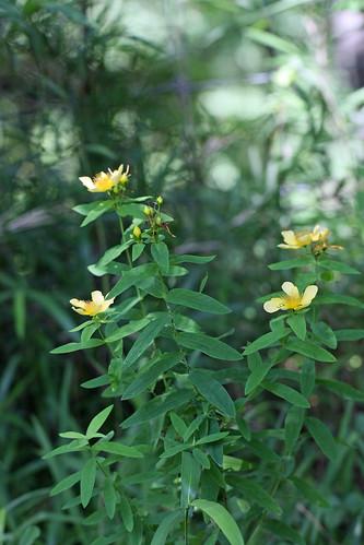 自然環境保全センターのトモエソウ(Flower, Nature Environment Preservation Center, Kanagawa, Japan)