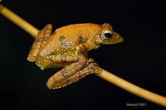 """Kalakad Gliding Frog Rhacophorus calcadensis • <a style=""""font-size:0.8em;"""" href=""""http://www.flickr.com/photos/109145777@N03/10940945144/"""" target=""""_blank"""">View on Flickr</a>"""