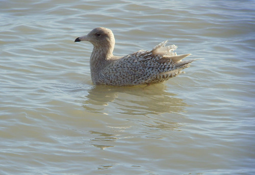 "Glaucous Gull, St Ives 11.02.14 (D.Flumm) • <a style=""font-size:0.8em;"" href=""http://www.flickr.com/photos/30837261@N07/13851392673/"" target=""_blank"">View on Flickr</a>"