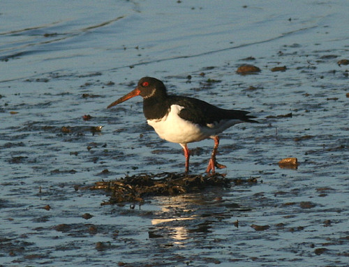 "Oystercatcher • <a style=""font-size:0.8em;"" href=""http://www.flickr.com/photos/30837261@N07/10723469973/"" target=""_blank"">View on Flickr</a>"