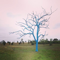 Blue Gum Tree