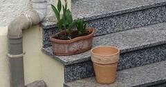 """Der Blumentopf. Die Blumentöpfe. Zwei Blumentöpfe auf einer Steintreppe. Im oberen Blumentopf sind Tulpen. • <a style=""""font-size:0.8em;"""" href=""""http://www.flickr.com/photos/42554185@N00/33647515446/"""" target=""""_blank"""">View on Flickr</a>"""