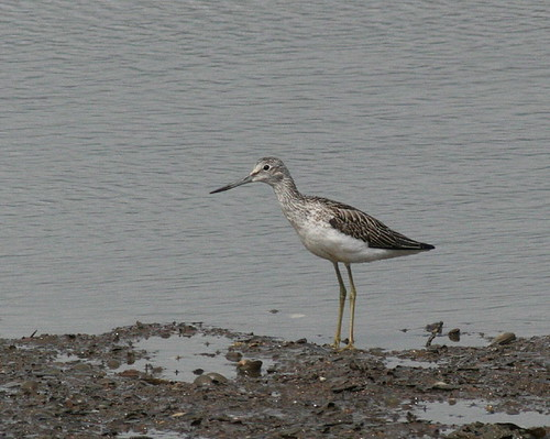 "Greenshank • <a style=""font-size:0.8em;"" href=""http://www.flickr.com/photos/30837261@N07/10723260204/"" target=""_blank"">View on Flickr</a>"