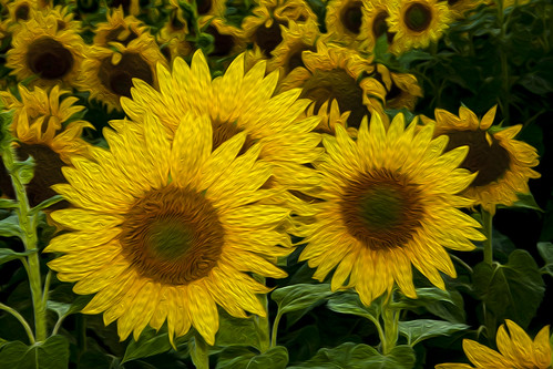 Sunflowers by Mike Wiseman, on Flickr