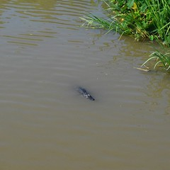 Since South Carolina I've be looking for alligators, every time I pass over a creek or river I look down onto the water. It's taken me hundreds of miles and five states but I've finally had my first sighting; this little guy. Off of Rt, 90 in Gray, LA. #T
