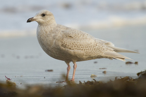 """Iceland Gull, St Ives, 25.01.14 (A.Hugo) • <a style=""""font-size:0.8em;"""" href=""""http://www.flickr.com/photos/30837261@N07/12153097503/"""" target=""""_blank"""">View on Flickr</a>"""
