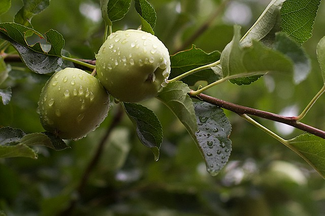 Washed Apples