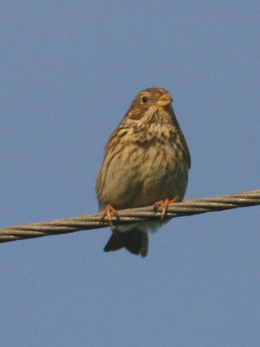 "Corn Bunting (J H Johns) • <a style=""font-size:0.8em;"" href=""http://www.flickr.com/photos/30837261@N07/10722735915/"" target=""_blank"">View on Flickr</a>"