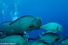 Bumphead Parrot Fish