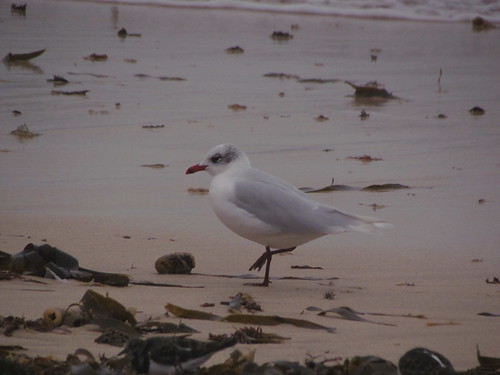 """Med Gull, St Ives, 24.01.14 (V.Stratton) • <a style=""""font-size:0.8em;"""" href=""""http://www.flickr.com/photos/30837261@N07/12132308025/"""" target=""""_blank"""">View on Flickr</a>"""