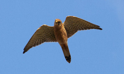 "Kestrel • <a style=""font-size:0.8em;"" href=""http://www.flickr.com/photos/30837261@N07/10722505424/"" target=""_blank"">View on Flickr</a>"