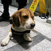 beagle police dog at work