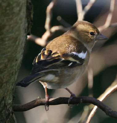 "Chaffinch • <a style=""font-size:0.8em;"" href=""http://www.flickr.com/photos/30837261@N07/10722735155/"" target=""_blank"">View on Flickr</a>"
