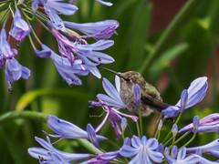 Hummingbird - Taking a Break