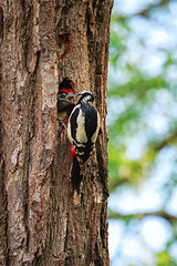 "Great Spotted Woodpecker feeding its young, Trap Grounds, June 2013 (Matthew Skelton) • <a style=""font-size:0.8em;"" href=""http://www.flickr.com/photos/60890513@N06/8981939976/"" target=""_blank"">View on Flickr</a>"
