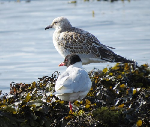 "Med Gulls, Falmouth, 070714 (J.St Ledger) • <a style=""font-size:0.8em;"" href=""http://www.flickr.com/photos/30837261@N07/14602639892/"" target=""_blank"">View on Flickr</a>"
