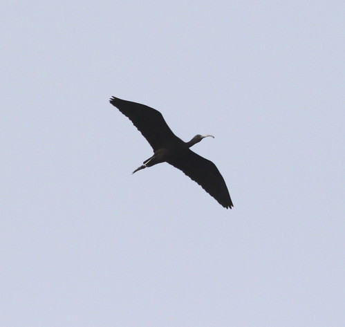 """Glossy Ibis, 3 Marazion 280914 (P.Freestone) • <a style=""""font-size:0.8em;"""" href=""""http://www.flickr.com/photos/30837261@N07/15378712351/"""" target=""""_blank"""">View on Flickr</a>"""