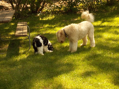 Sadie and Latte in Yard