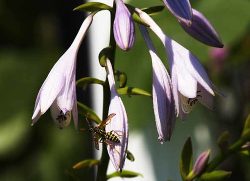 Bee On Hosta Flower