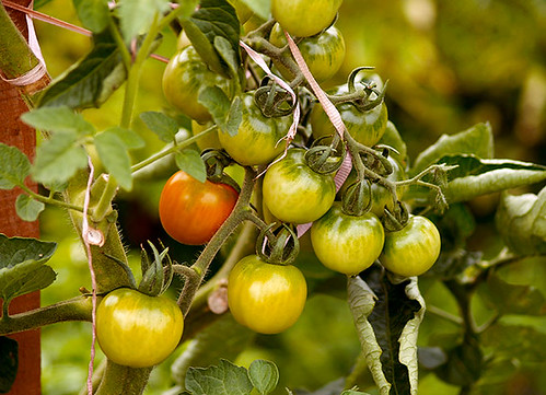 Early Season Cherry Tomatoes