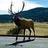 "So why *did* the elk cross the road? • <a style=""font-size:0.8em;"" href=""http://www.flickr.com/photos/24419989@N07/15054879869/"" target=""_blank"">View on Flickr</a>"