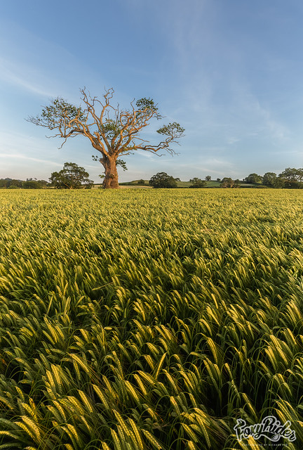 Summer Barley