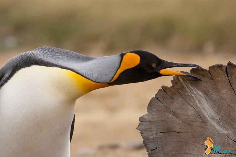 parque-pinguim-rei-3