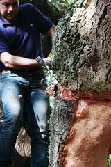 Decortica della quercia da sughero 03