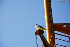 Captain Seagull