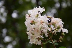 bee at Shirakawa park, Nagoya, Japan