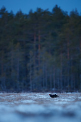 Black Grouse | orre | Lyrurus tetrix