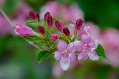 fioritura.