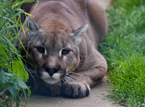 Cougar ready to pounce