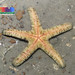 Red scaly sea star (Nepanthia sp.)
