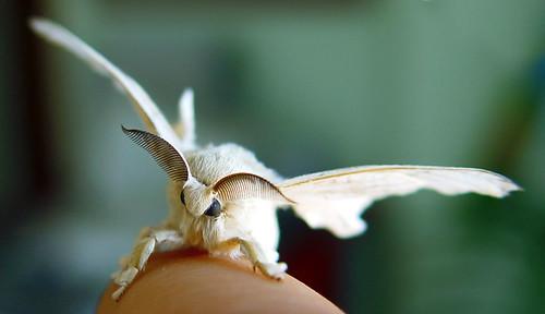 Mariposa de Bombyx mori