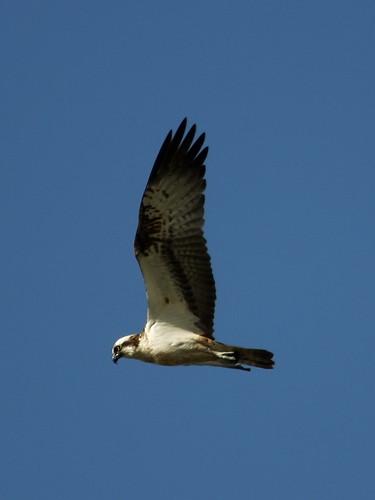 Osprey - male (Pandion  haliaetus)