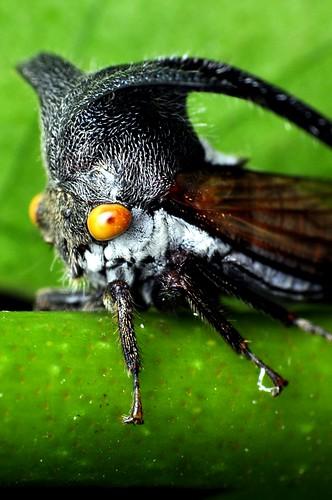 Planthopper