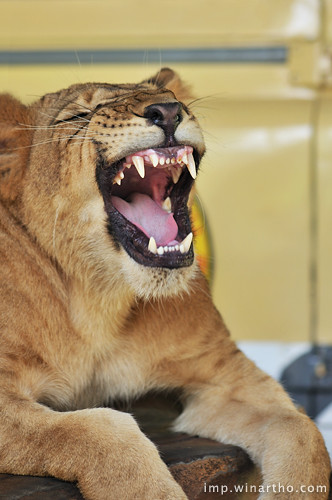 the laughing lion baby... heheh... LOL