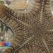 Biscuit sea star (Goniodiscaster scaber)