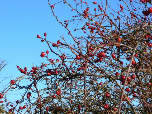 Wild rosehips on the Downs in Bristol