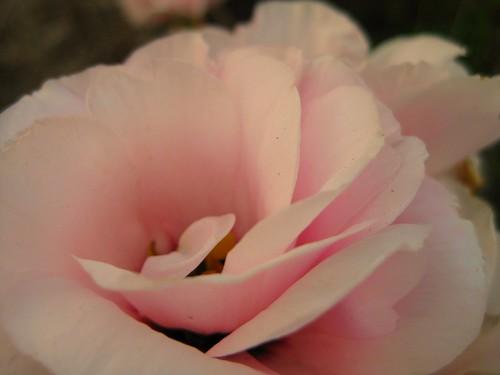 pink lisanthus
