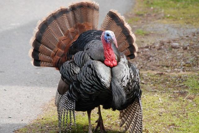 Wild Turkey strut