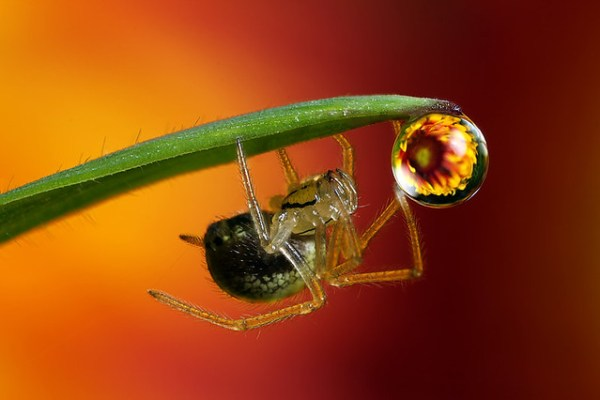 Flower dewdrop refraction and spider