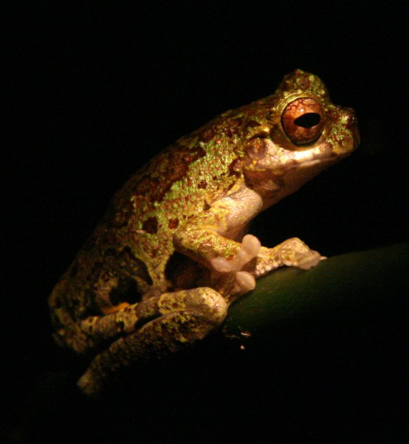 Frogs of Costa Rica - David Dodge