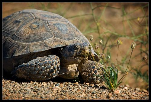 Desert Tortoise III