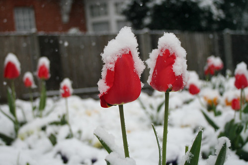 Tulips snow winter urban gardening London